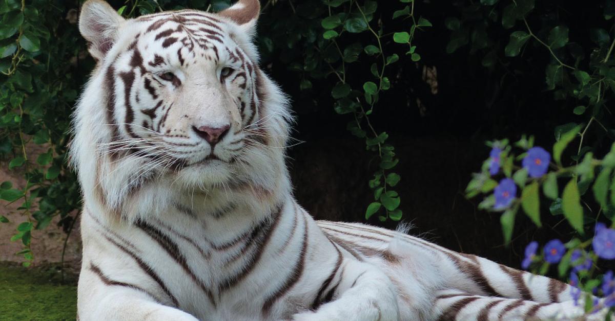 Los tigres son un símbolo nacional en ese país, representan la victoria sobre cualquier fuerza negativa.