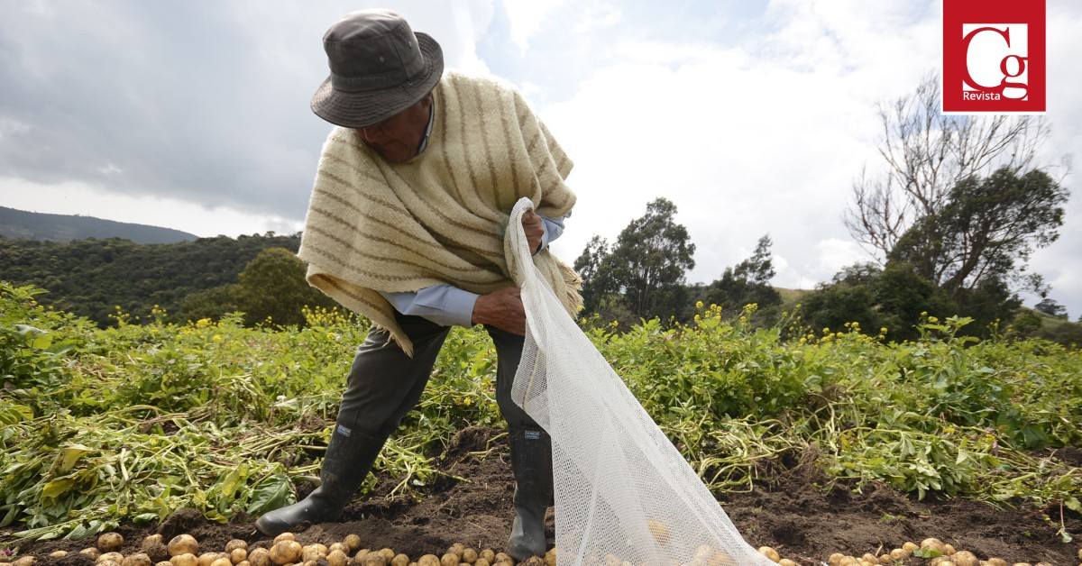 Gobierno anuncia incentivo por $30.000 millones para compensar precio a 25.000 productores de papa en el país